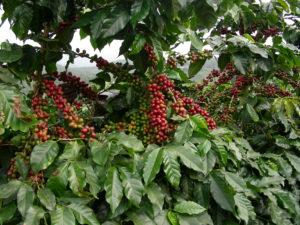 Green Coffee Fruit